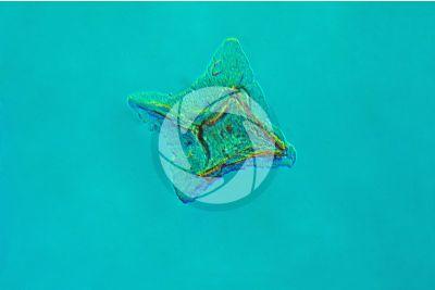Scyliorhinus sp. Scyllium sp. Dogfish. Placoid scale
