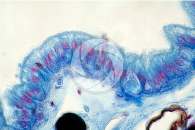 Rana sp. Frog. Tadpole. Skin and epidermis. Vertical section. 500X
