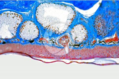 Rana sp. Frog. Skin and epidermis. Vertical section. 250X