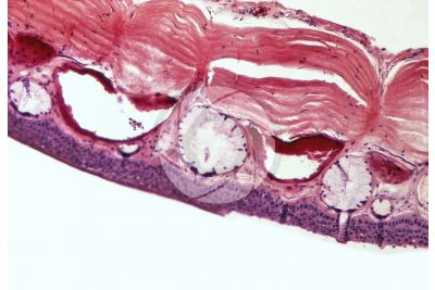 Rana sp. Frog. Skin and epidermis. Vertical section. 500X