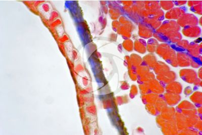Salamandra salamandra. Salamandra. Cute e epidermide. Sezione trasversale. 500X