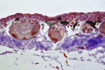 Triturus sp. Newt. Skin and epidermis. Vertical section. 250X