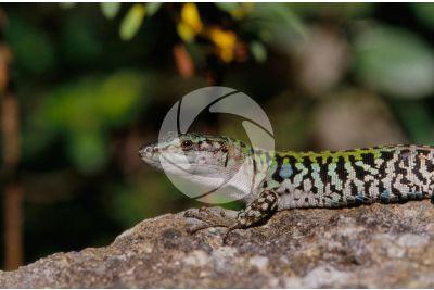 Lacerta sp. Lizard. Scute. Lateral view
