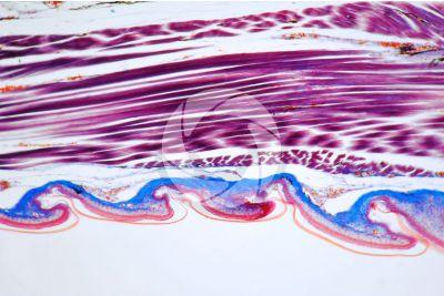 Lacerta sp. Lizard. Imbricate scute. Vertical section. 64X