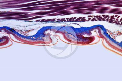 Lacerta sp. Lizard. Imbricate scute. Vertical section. 100X