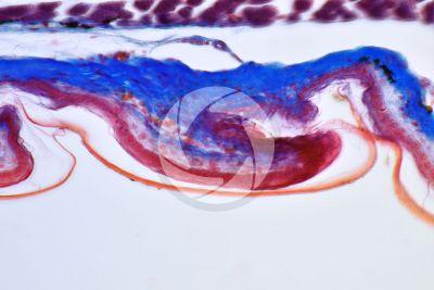 Lacerta sp. Lizard. Imbricate scute. Vertical section. 250X
