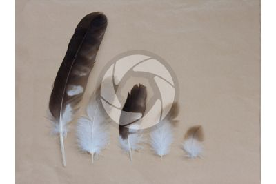 Remex feather and contour feather
