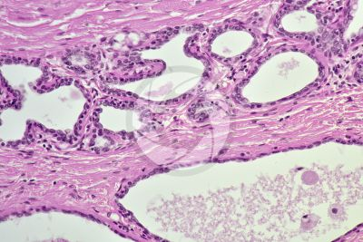 Woman. Active mammary gland. Vertical section. 250X