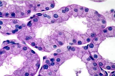 Mammal. Lacrimal gland. Transverse section. 500X