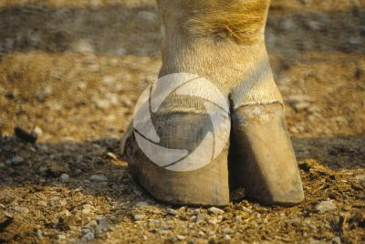 Skin appendage. Giraffe. Hoof