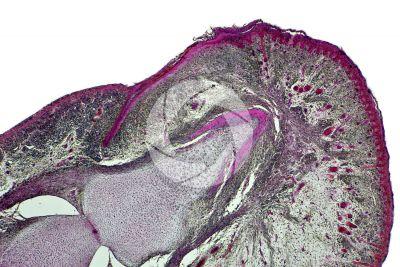 Uomo. Embrione. Falange distale e intermedia. Sezione longitudinale. 64X