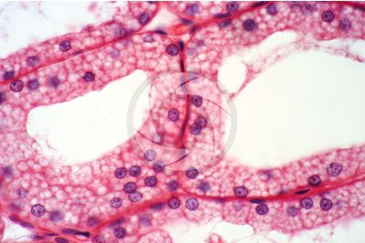 Rabbit. Harderian gland. Vertical section. 500X