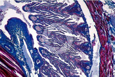 Petromyzon sp. Lampreda. Lamella branchiale. Sezione trasversale. 64X