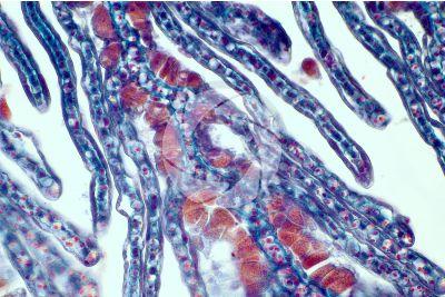 Petromyzon sp. Lampreda. Lamella branchiale. Sezione trasversale. 500X