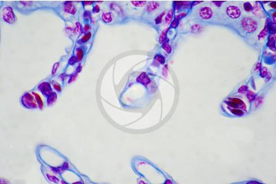 Scyliorhinus sp. Scyllium sp. Pescecane. Lamella branchiale. Sezione trasversale. 1000X