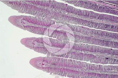 Cyprinus sp. Gill slit. Longitudinal section. 32X