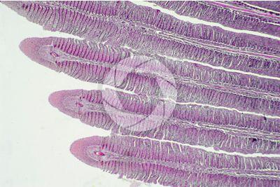 Cyprinus sp. Lamella branchiale. Sezione longitudinale. 32X