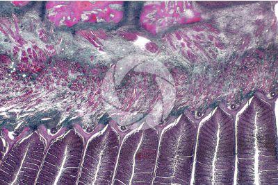 Cyprinus sp. Lamella branchiale. Sezione longitudinale. 64X