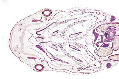 Xenopus laevis. African clawed frog. Tadpole. Internal gill. Longitudinal section. 10X