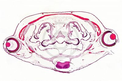 Xenopus laevis. African clawed frog. Tadpole. Transverse section. 32X
