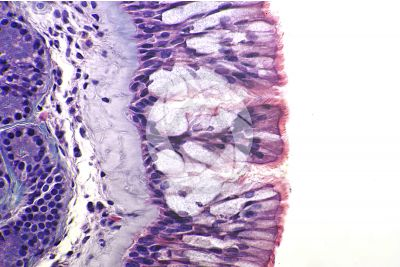 Man. Nasal mucous membrane. Vertical section. 500X