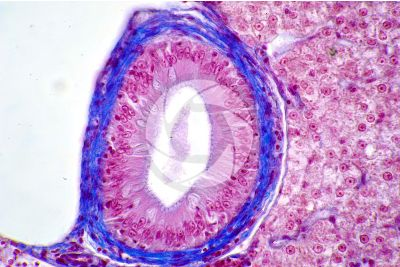 Cyprinus sp. Liver. Transverse section. 500X