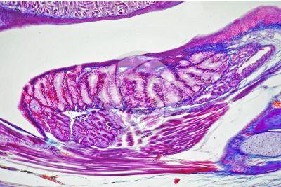 Lacerta sp. Lucertola. Ghiandola salivare. Sezione longitudinale. 125X
