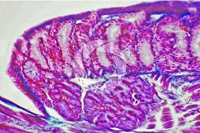 Lacerta sp. Lucertola. Ghiandola salivare. Sezione longitudinale. 250X