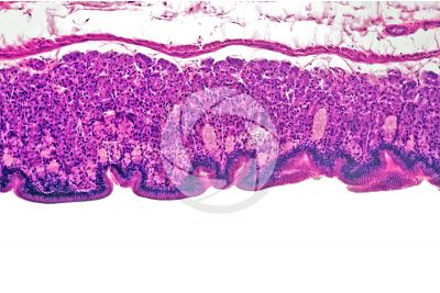 Elaphe sp. Aesculapian snake. Stomach. Transverse section. 125X