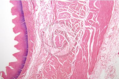 Lamb. Esophagus. Transverse section. 32X