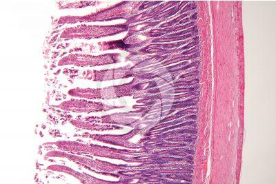 Dog. Small intestine. Transverse section. 32X
