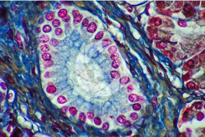 Man. Pancreas. Transverse section. 1000X