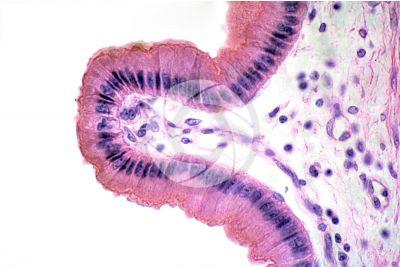 Mammal. Gallbladder. Transverse section. 250X