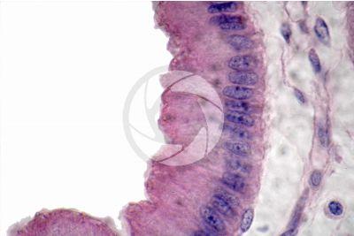 Mammal. Gallbladder. Transverse section. 1000X