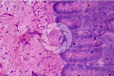 Mammal. Small intestine. Transverse section. 250X