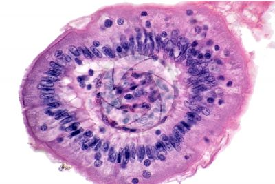Mammal. Small intestine. Transverse section. 500X