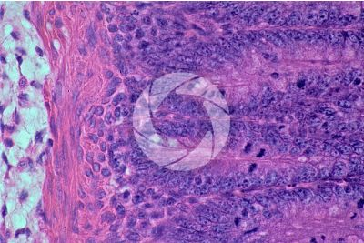 Mammal. Large intestine. Transverse section. 250X