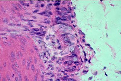 Mammal. Large intestine. Transverse section. 500X