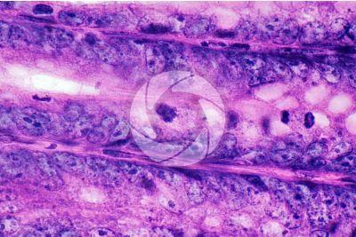Mammal. Large intestine. Transverse section. 1000X