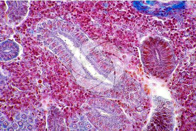 Cyprinus sp. Kidney. Transverse section. 500X