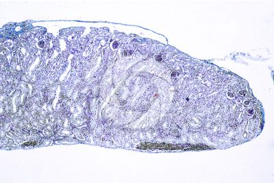 Rana sp. Frog. Kidney. Transverse section. 64X