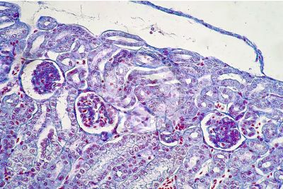 Rana sp. Frog. Kidney. Transverse section. 250X