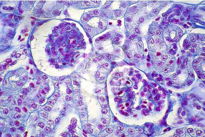Rana sp. Frog. Kidney. Transverse section. 500X