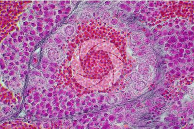 Cyprinus sp. Testicle. Transverse section. 1000X