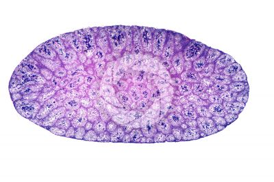 Rana sp. Frog. Testicle. Transverse section. 32X