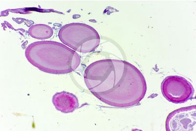 Lacerta sp. Lizard. Ovary. Transverse section. 32X