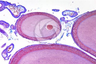 Lacerta sp. Lizard. Ovary. Transverse section. 125X