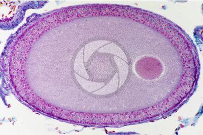 Lacerta sp. Lucertola. Ovario. Sezione trasversale. 250X