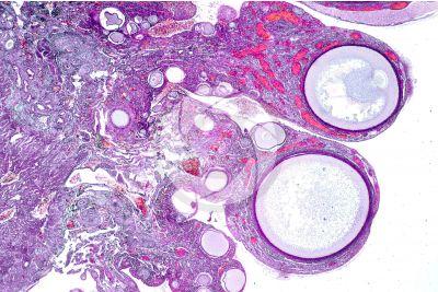 Gallus gallus domesticus. Pollo. Ovario. Sezione trasversale. 32X