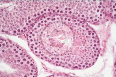 Cavia sp. Guinea pig. Testicle. Seminiferous tubule. Transverse section. 250X